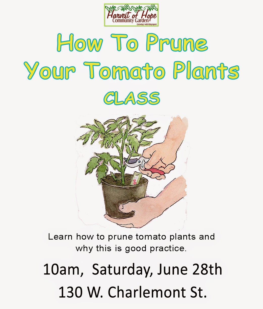 How to Prune Your Tomato Plants CLASS