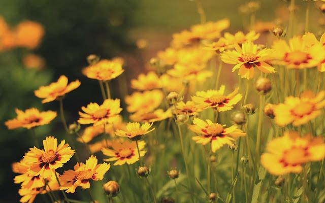 Flores Amarillas Imágenes de Flores para San Valentin