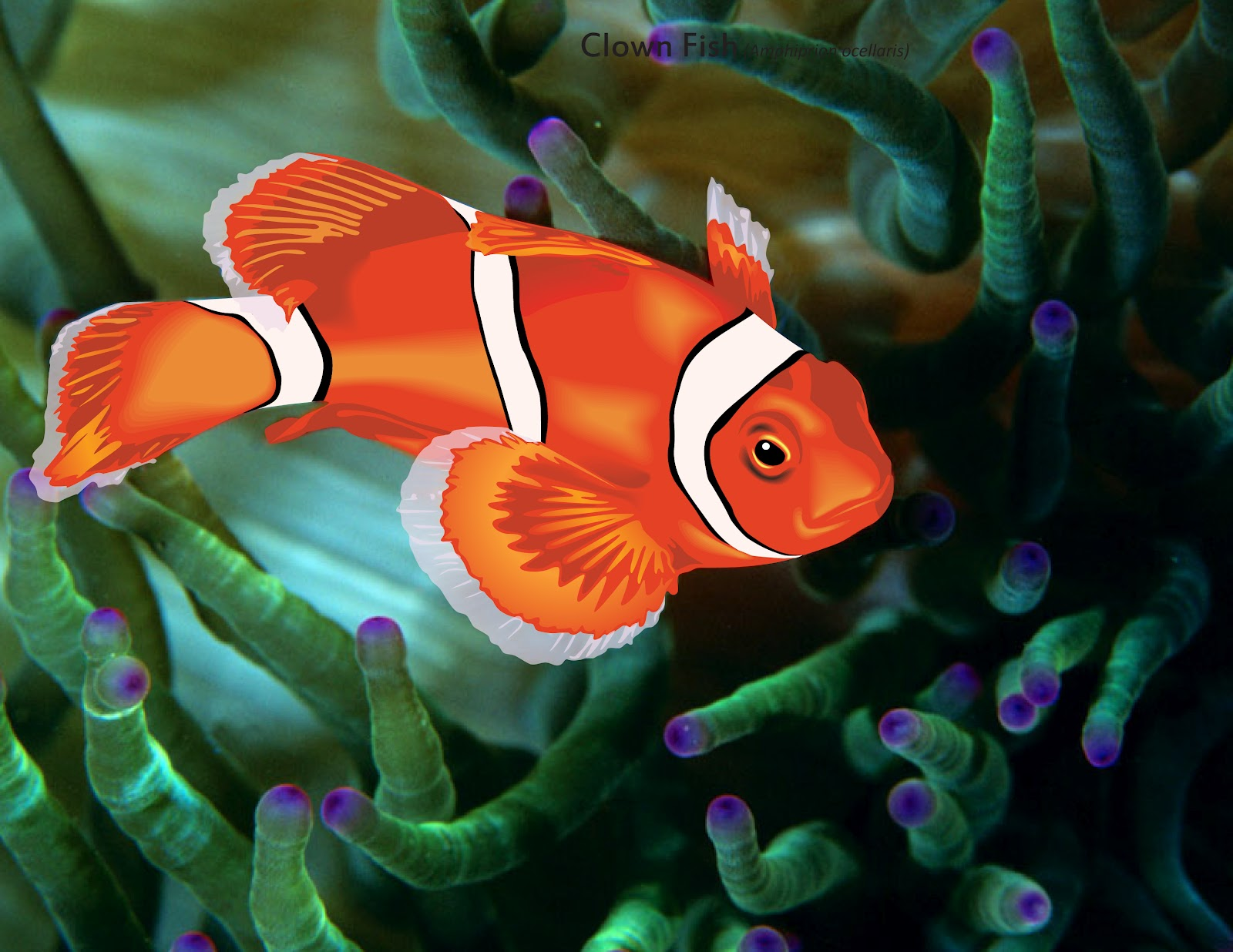 clown fish fin