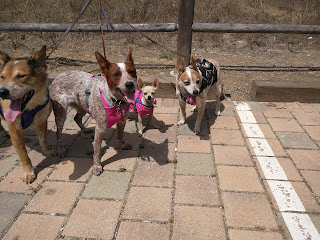 Brisbane, Sisci, Ru, and Annie are ready for a drink of water after our hike.