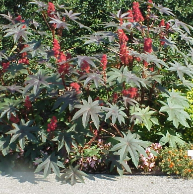 Castor plants
