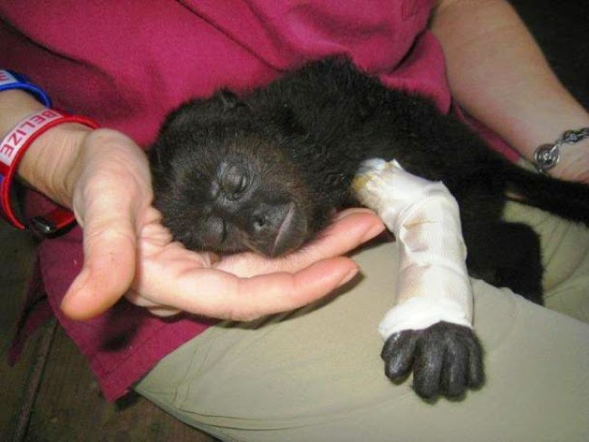 #17. This innocent baby howler monkey is being nurtured after a severe arm injury. - 24 Happy Animal Photos Made Possible By The People Who Saved Them.