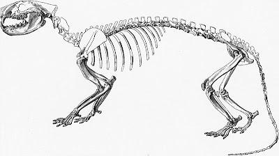 Oxyaena squeleton