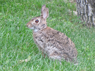 Brown-Eyed Branson Bunny