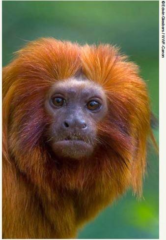 Observatório-de-Unidades-de-Conservação-mico-leão-dourado