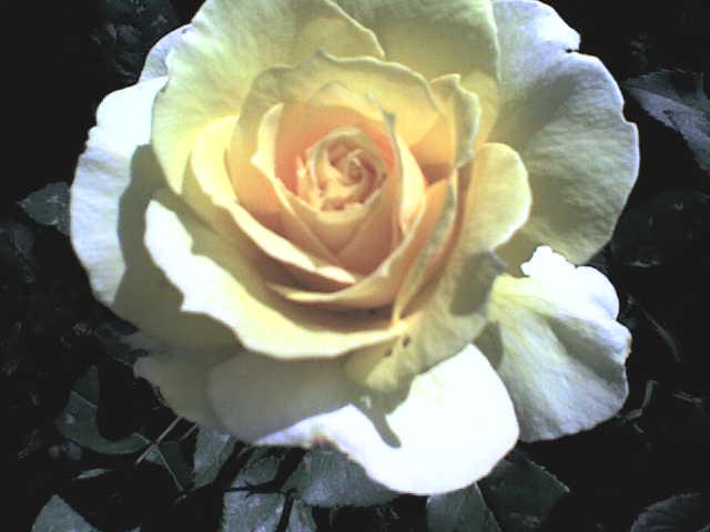 blumensprache gelbe rose gedicht pfeffel. Black Bedroom Furniture Sets. Home Design Ideas