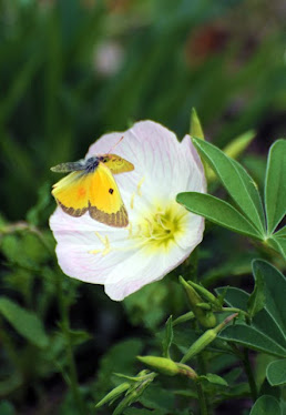 Orange Sulphur Butterfly Colias  eurytheme and Evening Primrose