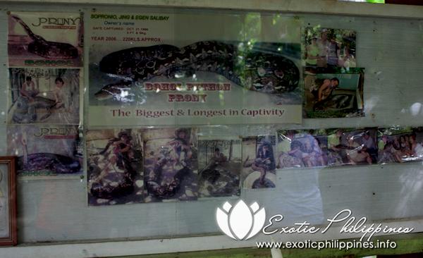 Prony Bohol Philippines Largest Python