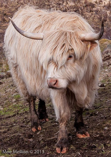 Moe and Irene's RTW blog: Highland Cattle