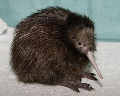 Imagenes de kiwi