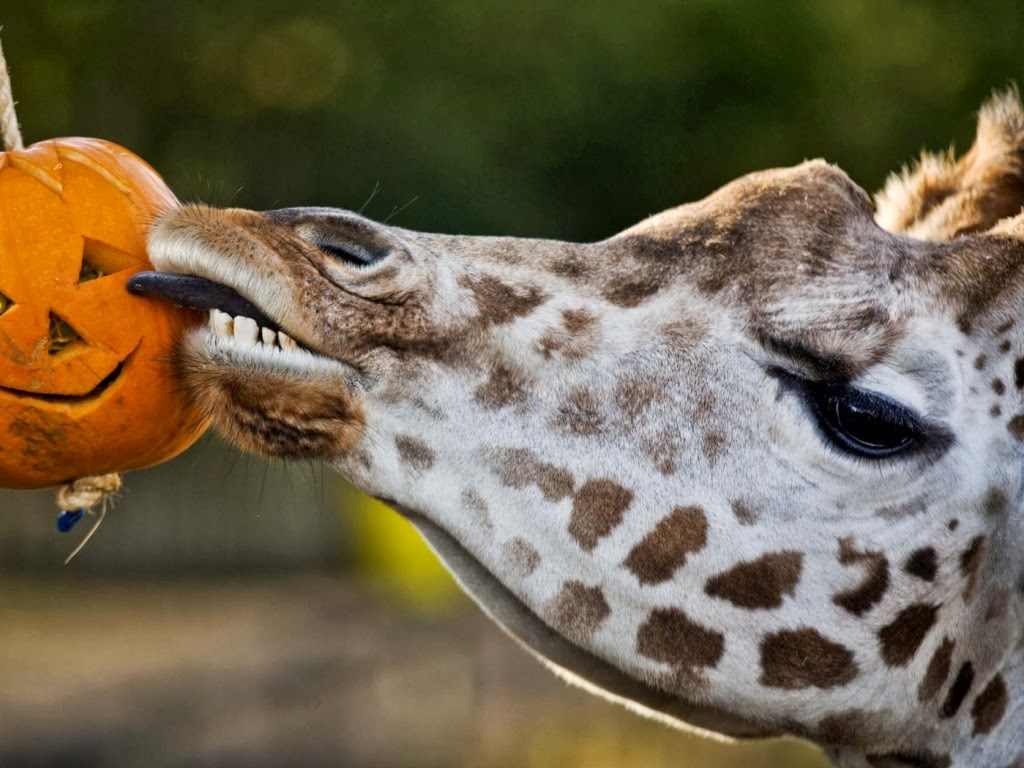 "<img src=""http://1.bp.blogspot.com/-Y3vDvfdbMl8/UtlPzdkh2QI/AAAAAAAAIkE/-Fh8prIyoZI/s1600/animal-wallpapers-giraffes-funny.jpeg"" alt=""giraffes funny"" />"