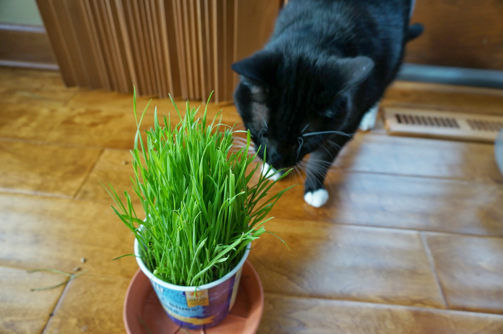 Grow wheat grass for cats and dogs