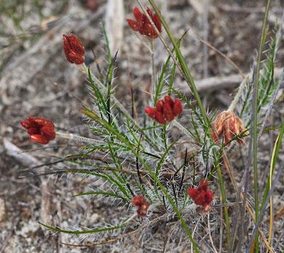Bristly Cottonheads (Conostylis setigera)