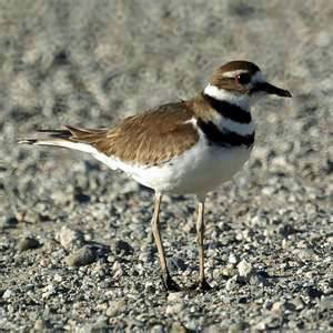New CRC Blog- Saving Killdeer  is all in a day's work