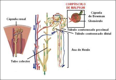 Rayos 2011: Anatomía y Fisiología del Sistema Urinario