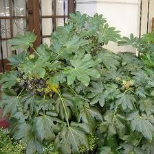 Patricia l pez dise o floral fatsia japonica - Plantas de hojas grandes y verdes de exterior ...