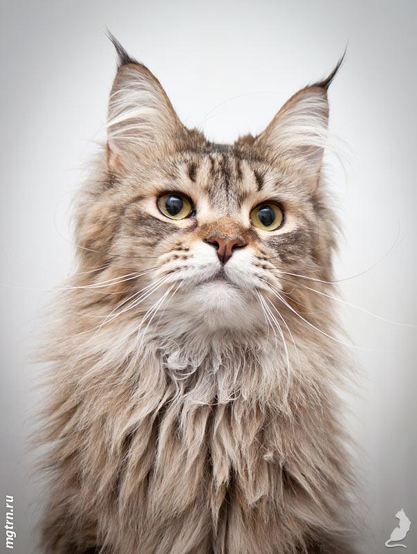 Кошка мейн кун Megatherion Alpha Jet ищет семью