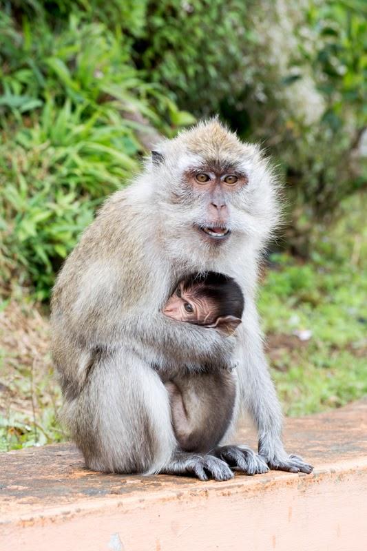 Maman singe avec son petit dans les bras à Grand Bassin, Ile Maurice