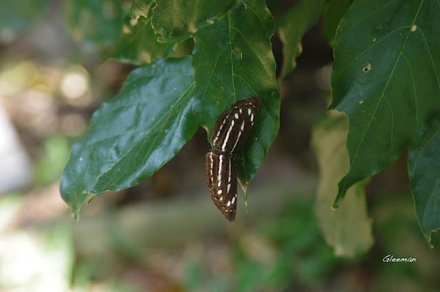 雞南山小三線蝶