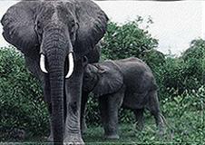 Essay on elephants