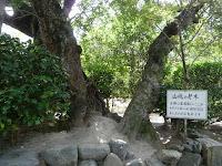 ヤマモモの老木