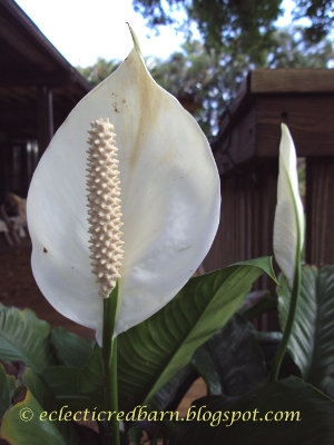 Eclectic Red Barn: Peace Lily Flower