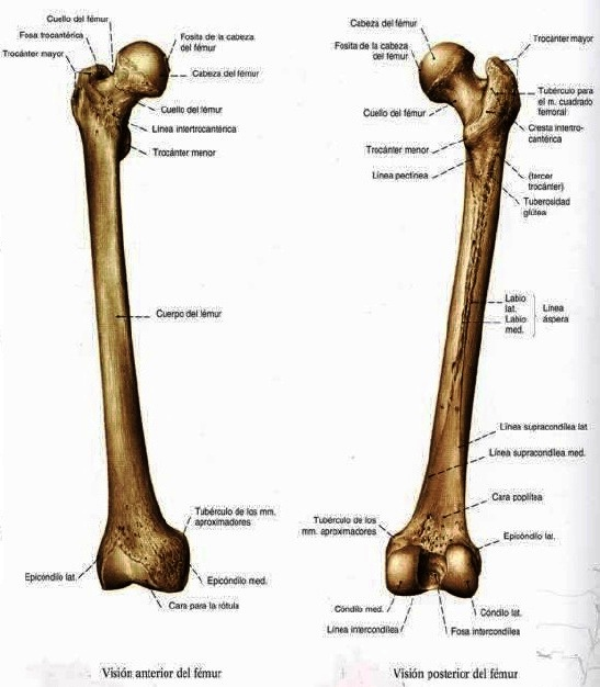 WikiMedicBook: Miembro inferior: huesos femur, rotula y tibia