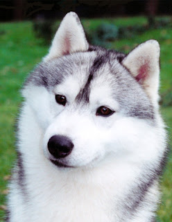 wolf wolve gray white black species dog hybrid