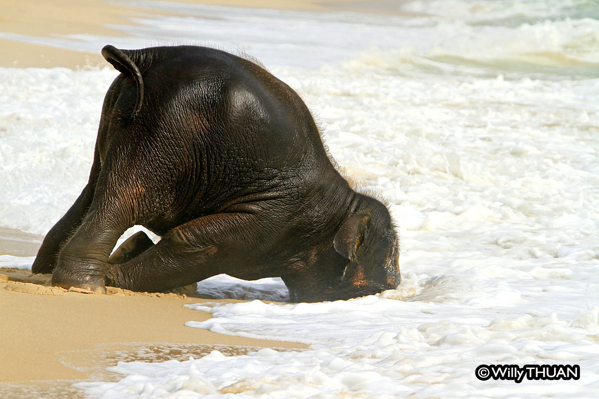 Baby elephant playing on the beach the real story behind the photos