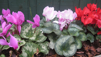 Cyclamens getting more and more beautiful each year.