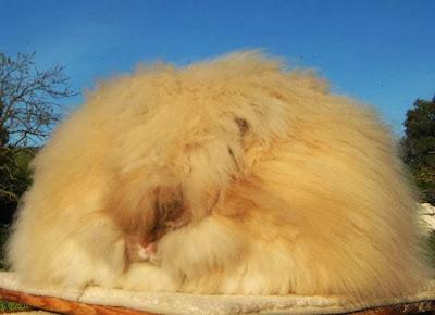 O coelho Angorá é uma variedade de coelho doméstico produzido por sua longa, lã macia.  O Angorá é um dos mais antigos tipos de coelho doméstico, originário de Ancara.