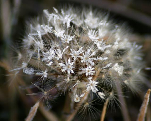 Dandelion Frost Flowerets