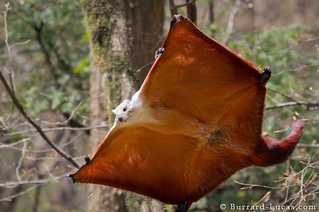 صور لأجمل اللقطات التصويرية Giant+Flying+Squirrel