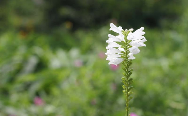 Physostegia Virginiana Flowers Pictures
