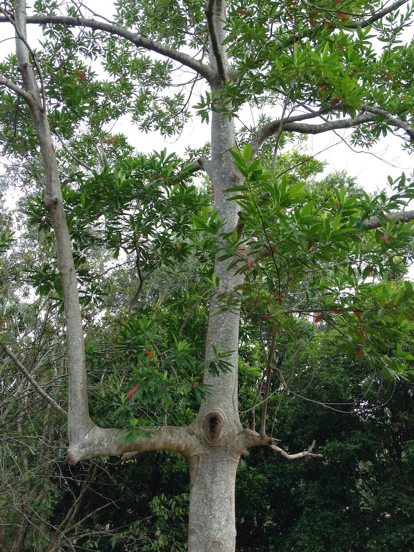 biodiversity in my backyard the blue quandong tree
