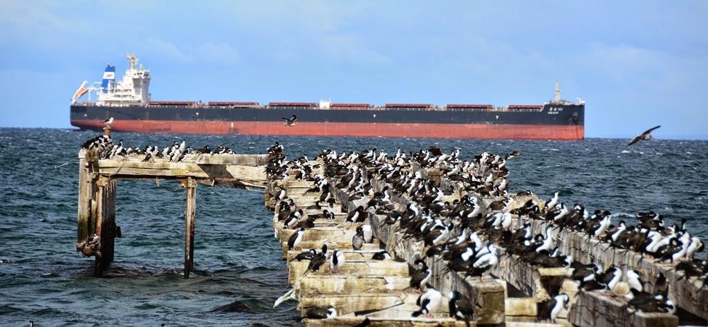Punta Arenas Cormorants