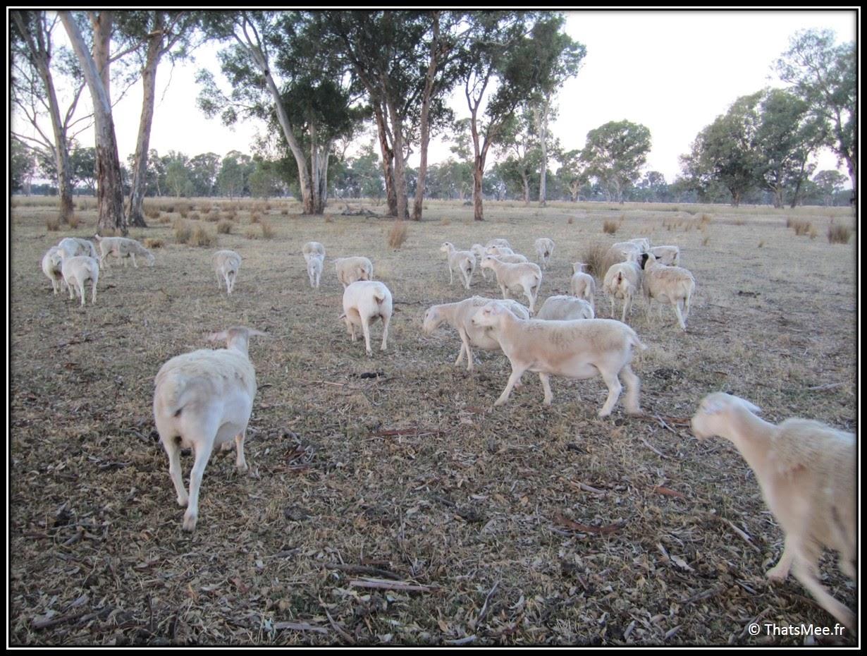 ferme kangourou moutons sheep King Valley Milawa Wangaratta Australie campagne Melbourne