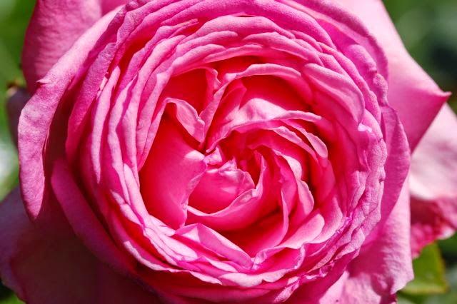 Romantische rozen