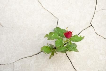 how to grow desert rose sydney