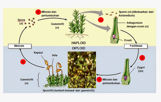 metagenesis pergiliran keturunan lumut