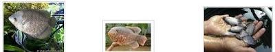 Ikan Gurami