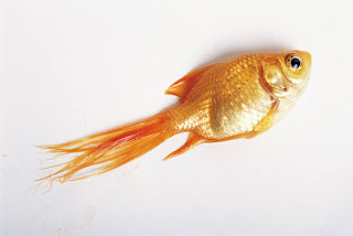 Goldfish Jumped Out Of Water - How Long Can A Goldfish Survive Out Of Water?