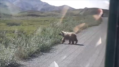 Brown bear in Denali Park