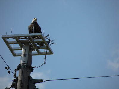 Wisconsin Eagle Sighting
