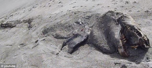 The 30-foot long carcass of the mysterious sea creature is seen almost buried under the sand on the New Zealand beach in the Bay of Plenty. Only its head and what appear to be flippers are visible