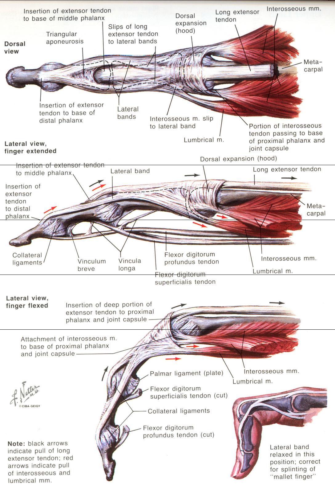 Finger ligament anatomy