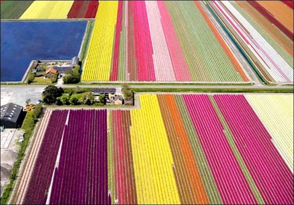 مزارع الزهور الهولندية