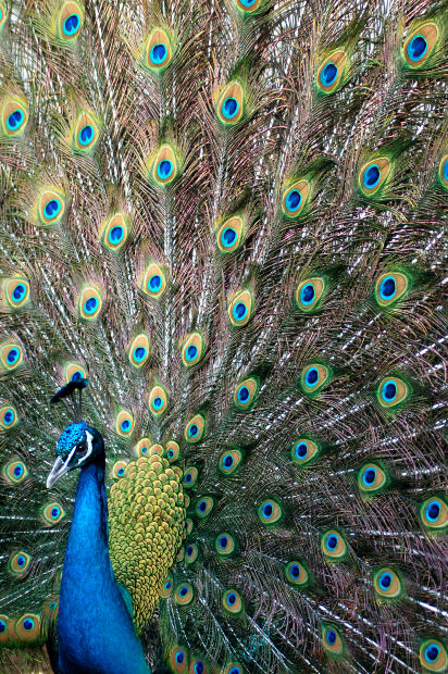 EventPro Planner: Birds of a Feather Flock to Peacock Decorating Ideas