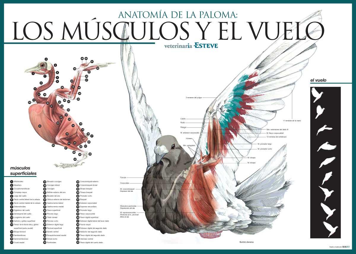 Los músculos pectorales del pájaro - pájaros con mancuernas para ...