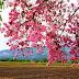 19 Foto Gambar Menakjubkan Musim Bunga Mekar Segar Di Malaysia